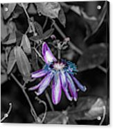 Passion Flower Only Alt Acrylic Print