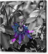 Passion Flower Only Acrylic Print