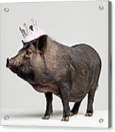 Pig With Toy Crown On Head, Studio Shot Acrylic Print