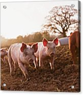 Piglets In Barnyard Acrylic Print