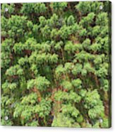 Pine Rows Aerial 2x1 Acrylic Print