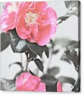 Pink Camellia. Shabby Chic Collection Acrylic Print