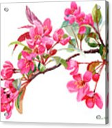 Pink Flowering Tree Blossoms Acrylic Print