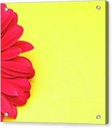 Pink Gerbera Daisy On Yellow Background Acrylic Print