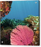 Pink Gorgonian Sea Fan, Pura Island Acrylic Print