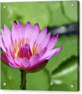 Pink Lotus Water Flower Acrylic Print