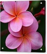 Pink Plumerias  Acrylic Print