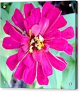 Pink Zinnia With Spider Acrylic Print
