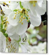 Plum Blossoms 2 Acrylic Print