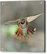 Poetry In Motion - Hummingbird Hovering Acrylic Print