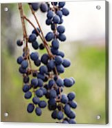Pokeberries Acrylic Print