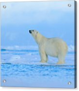 Polar Bear, Dangerous Looking Beast On Acrylic Print