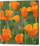 Poppies In The Breeze Acrylic Print