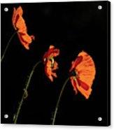 Poppies In The Sun Acrylic Print