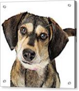 Portrait Cute Medium Size Crossbreed Dog Acrylic Print