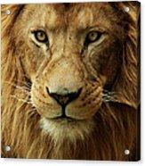 Portrait Male African Lion Acrylic Print