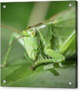 Portrait Of A Great Green Bush-cricket Sitting On A Leaf Acrylic Print
