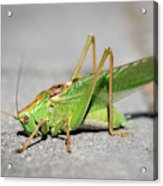 Portrait Of A Great Green Bush-cricket Sitting On The Pavement Acrylic Print