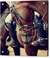 Portrait Of A Sports Stallion. Riding Acrylic Print