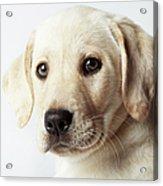 Portrait Of Blond Labrador Retriever Acrylic Print