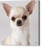 Portrait Of Chihuahua Acrylic Print