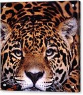 Portrait Of Jaguar, Brazil Acrylic Print