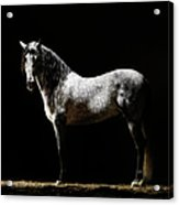 Portrait Of Standing Grey Horse Acrylic Print