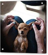 Pov - Pets Acrylic Print