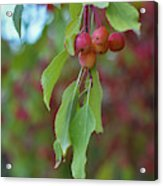 Pretty Cherries Hanging From Tree Acrylic Print