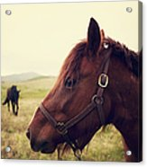 Profile Of Brown Horse In Meadow Acrylic Print