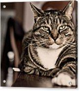 Proud Cat Acrylic Print