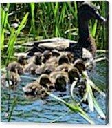 Proud Mother Duck Acrylic Print