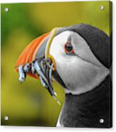 Puffin With A Mouthful Acrylic Print