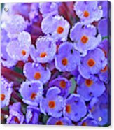 Purple Flowers In The Morning Dew Acrylic Print