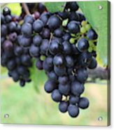 Purple Grape Bunches 20 Acrylic Print