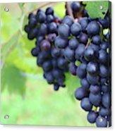Purple Grape Bunches 21 Acrylic Print