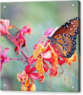 Queen Butterfly On Mexican Bird Of Paradise  Acrylic Print
