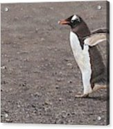 Quick Hurry - Gentoo Penguin By Alan M Hunt Acrylic Print
