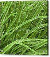 Raindrops Of Daylily Foliage Acrylic Print