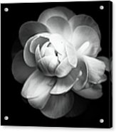 Ranunculus Flower Acrylic Print