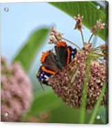 Red Admiral Butterfly On Milkweed Acrylic Print