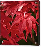 Red Automn Leaves Acrylic Print