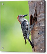 Red-bellied Woodpecker Acrylic Print