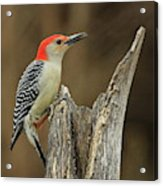 Red-belly At Stump Acrylic Print