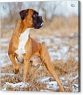 Red Boxer Dog Standing Outdoors Acrylic Print