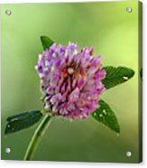 Red Clover Acrylic Print