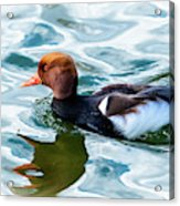 Red Crested Red Beak Red Eye Duck Acrylic Print