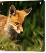 Red Fox Cub In The Grass Acrylic Print