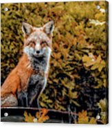 Red Fox In Fall Colors Acrylic Print