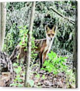 Red Fox In The Woods Acrylic Print